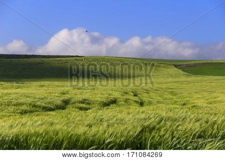 Springtime.Between Apulia and Basilicata: hilly landscape with green cornfields.ITALY. Ears of immature corn in the wind.