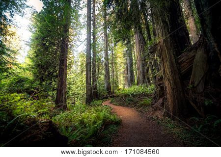 Image of a sunlit trail in the Redwood National Parks, California, USA.