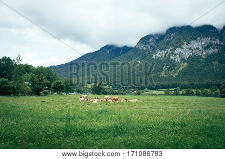 Idyllic moody rural landscape of alpin nature with cows pasture at a green grass field near lake front with high mountains and small village in background in countryside of Austria near Hallstatt