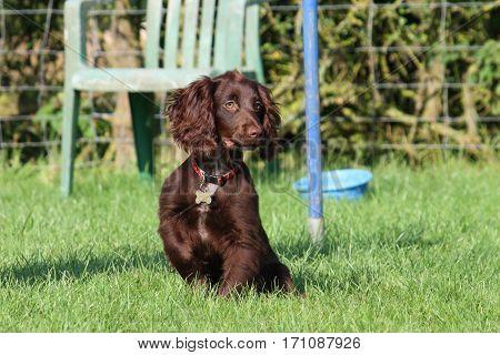 Brown Working Type Cocker Spaniel Pet Gundog