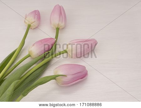 background with pink tulips. Bouquet of tulips on white wooden table. Tulips with copy space for text.