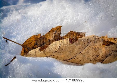 Image of a leaf in the snow on a sunny winter day