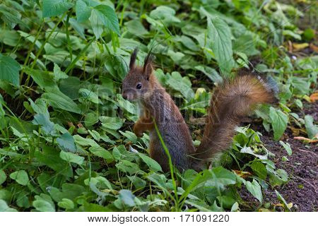 red squirrel standing on two legs in grass