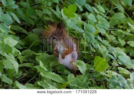 red squirrel sitting in the green grass