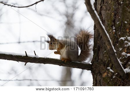 Squirrel sitting on the tree branch. winter