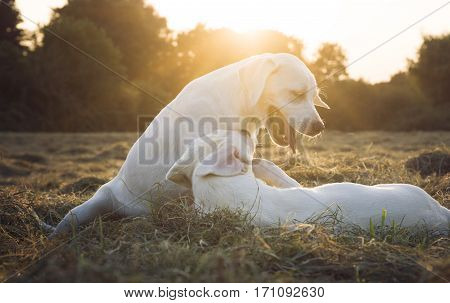 two cute labrador retriever dogs play on meadow while sunset