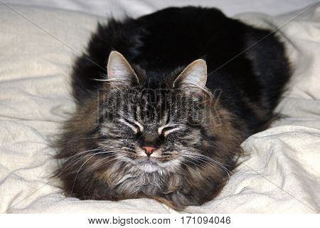 Cute Brown Tabby Long Haired Domestic Cat