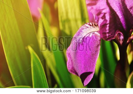 Spring background - purple iris spring flower under sunlight. Focus at the flower petal. Shallow DOF. Spring flower under sunlight. Closeup of spring iris flower. Nature spring view of iris flower in spring blossom. Spring flower