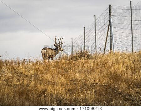 Mule deer buck standing next to fence