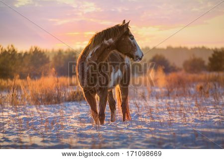 Red piebald horse runs on snow on sunset background