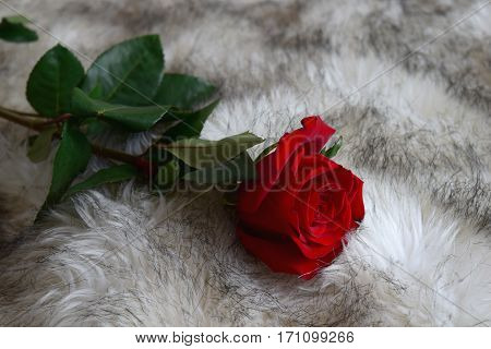 Red rose on white fur blanket on bed