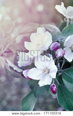 Apple flowers in sprinf blossom. Spring blooming apple flowers - natural spring flower background in cold pastel vintage tones. Closeup of spring flowers of blooming apple tree. Nature view of spring apple flowers in retro tones. Spring apple flowers in t