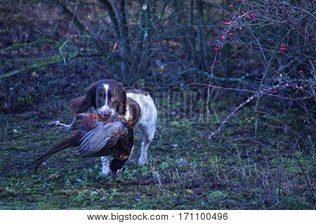 Liver And White Working Type English Springer Spaniel Pet Gundog Carrying A Pheasant