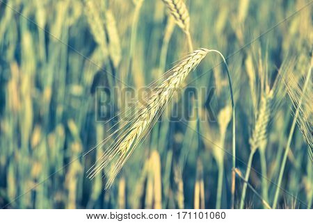 The Rye Crop. Vintage Processing Style