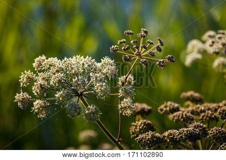 Wild Angelica (angelica Sylvestris) Plant
