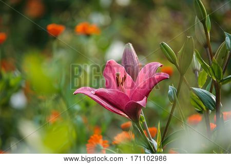 Pink Lilly (lilium) Flower Closeup In The Summer