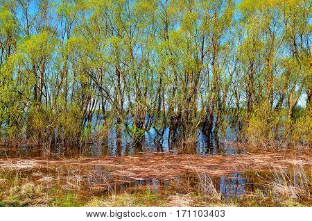 Spring landscape - willow thicket flooded with spring flood river waters with reeds on the foreground. Spring landscape in sunny weather. Colorful spring water landscape view. Spring landscape in early spring time