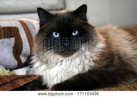 Blue-eyed tricolor Ragdoll cat on textured throw