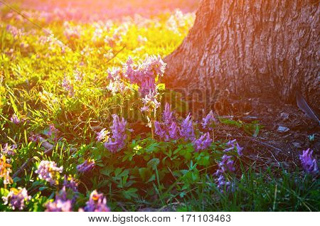 Spring landscape - blooming mauve little flowers of Corydalis halleri under the tree in the spring landscape forest. Spring landscape with blooming flowers in the forest. Landscape spring view