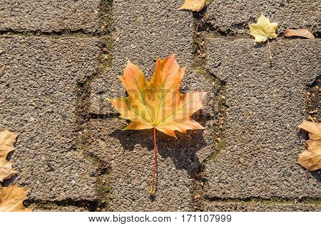 Maple leaf (Acer platanoides or Norway maple) on the road paving stone with its typically autumn colour