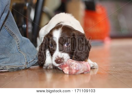 Young Working Type English Springer Spaniel Puppy Eating Raw Meat