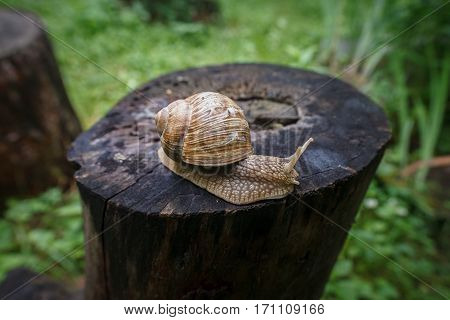 Snail creeps on the old rotten stump