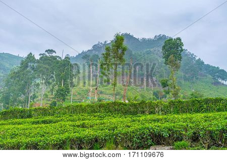 The Birthplace Of Tea