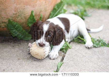 Young Working Type English Springer Spaniel Puppy Playing With A Ball