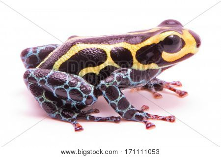 Poison dart frog, Ranitomeya imitator baja huallaga. A small poisonous animal from the tropical Amazon rain forest of Peru. Isolated on white background.