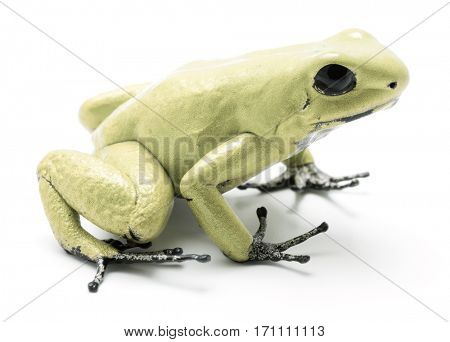 poison dart frog, Phyllobates terribilis mint green. Most poisonous animal from the Amazon rain forest in Colombia, a dangerous amphibian with warning colors. Isolated on white