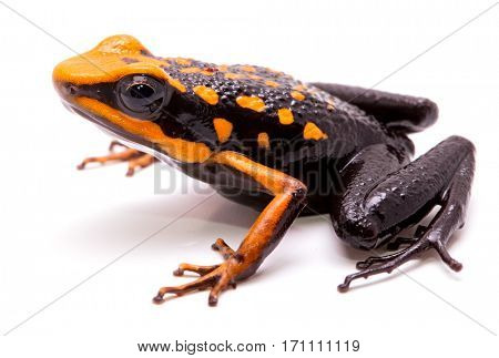 poison dart or arrow frog, Ameerega silverstonei. Orange poisonous animal from the Amazon rain forest of Peru. Isolated on white background.