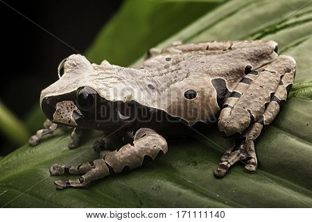 Spiny headed tree frog from the Amazon rain forest. Anotheca spinosa is a tropical animal.