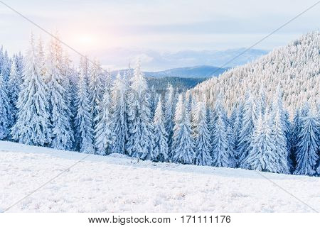 magical winter snow covered tree. Sunset in the Carpathians Ukraine Europe