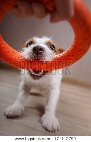 Dog Playing Cheerful, Happy In Home Decor