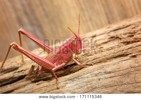 Red grasshopper. insect comes out of the cracks in the wood