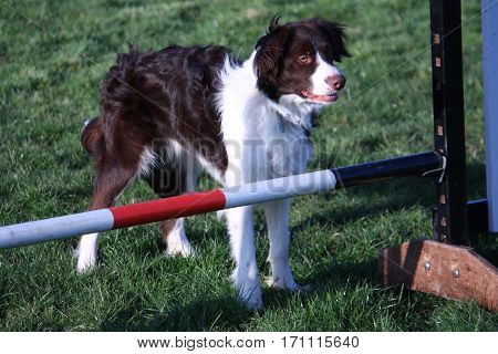 Cute Red And White Spaniel Collie Cross Pet Working Dog