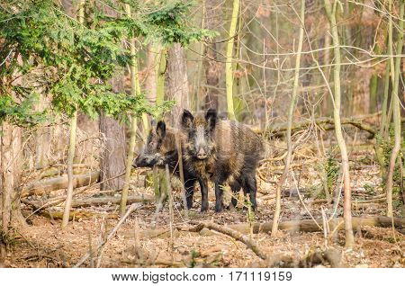 Two wild boars (Sus scrofa) in a park in a city of Berlin Germany at a wintertime.