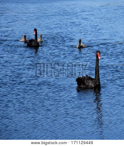 Beautiful black swan family swimming on the lake. The black swan is a large water bird a species of swan which breeds mainly in the southeast and southwest regions of Australia.