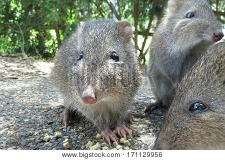 Potoroo Bandicoot Australian wildlife animal rodent native marsupial Australia. Family group photo.