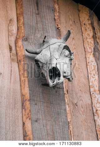 Cow skull hanged on wooden wall .