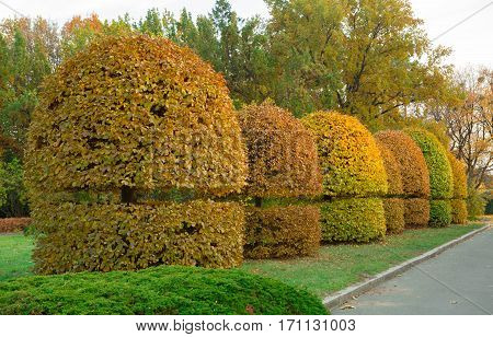 Yellow trimmed bushes trees in the park. Garden design at fall. Shaped trees and bushes.