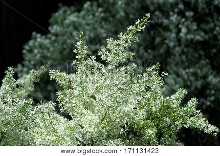 Christmas Bush Australian native bush tree shrub hedge small white flower blossom