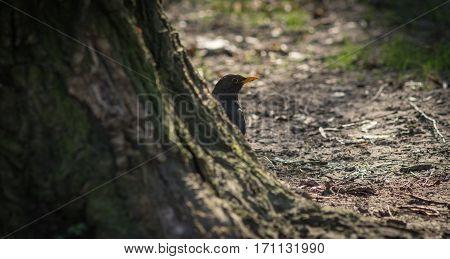 Cute blackbird wildlife (turdus merula) on ground.