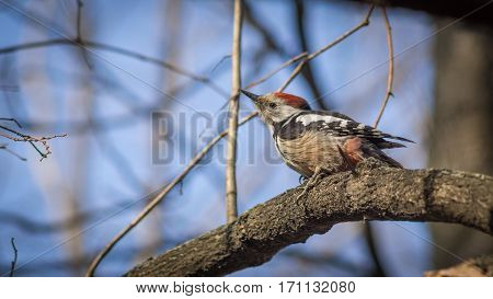 Cute woodpecker on the branch. Blue sky on the background.