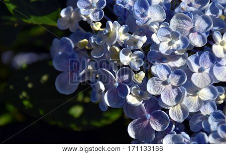 Blue mauve Syringa vulgaris (lilac or common lilac) family Oleaceae close up white background. Lilac flowers spring floral background. Branch of lilac closeup.