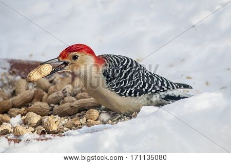 Male red bellied woodpecker helping himself to some peanuts in the snow.