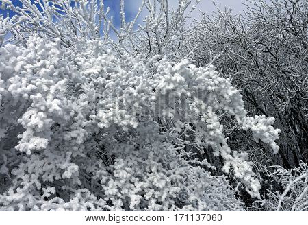 Beautiful branch covered with snow in winter day