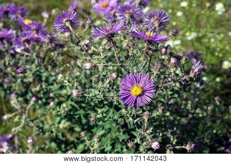 New England asters (Symphyotrichum novae-angliae), also called the Michaelmas daisy, bloom in Joliet, Illinois during September.