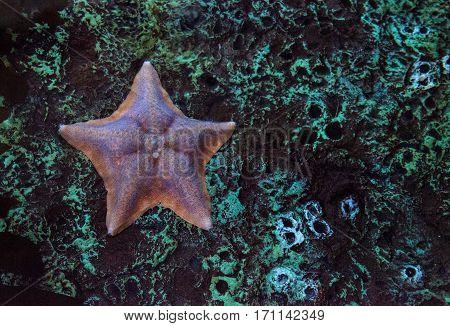 Bat starfish called Patiria miniata clings to the rocks in the Pacific ocean off the coast of California