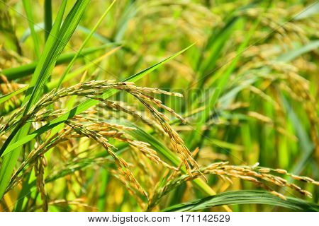 Rice field gold spike in organic farm